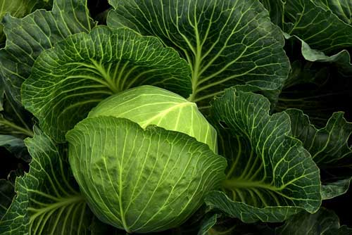 cabbage food facts photo of cabbage plants growing