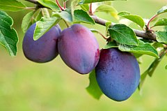 purple plums on branch