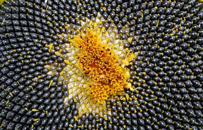 picture of sunflower showing sunflower drying