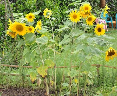 sunflowers in garden