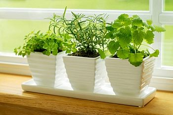 herbs in windowsill