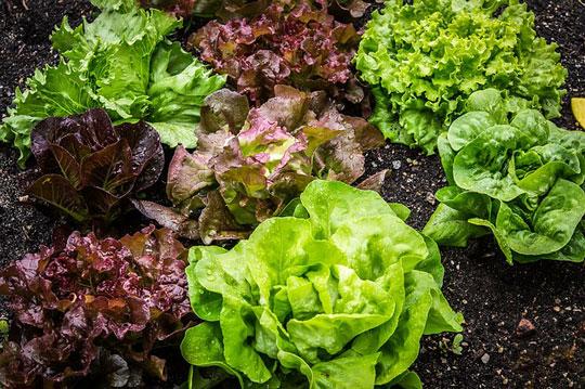 variety of lettuce