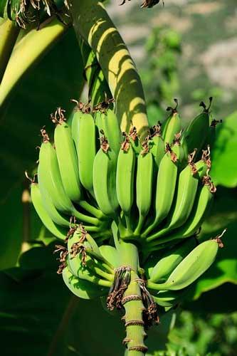 banana plant growing