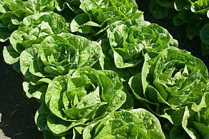 lettuce growing in rows in the garden