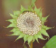 sunflower seeds facts, picture of sunflower showing sunflower seeds drying