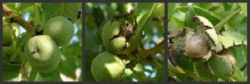 picture of walnut in green husk growing on the walnut tree