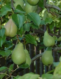 pear food facts, picture of pears growing on the pear tree