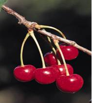 cherry food facts photo of cherries growing on a tree branch