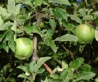 apple facts photo of green apple tree