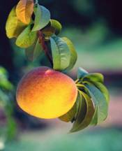 peach food facts, photo of ripe peach growing on a peach tree branch
